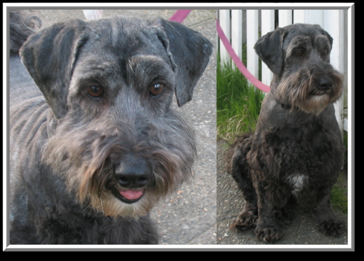 Schnoodle Haircuts