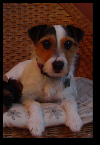 adopted jan 28 05 jack jack russell terrier 2 years old 12 lbs male