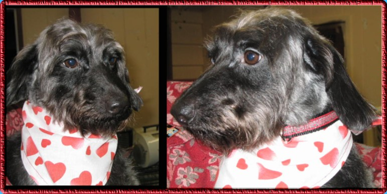 long haired dachshund mix. Wire haired Dachshund