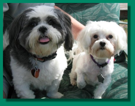 Maltese Shih Tzu Adult - Sex Picture Women Usa
