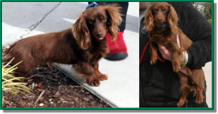 Long haired dachshund haircut merry dog life photo blog long haired dachshund haircut winobraniefo Gallery